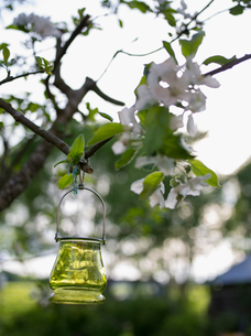 Finland, Ostrobothnia, Oil lamp hanging on branch of Apple tree( Malus pumila)の写真素材 [FYI02208649]