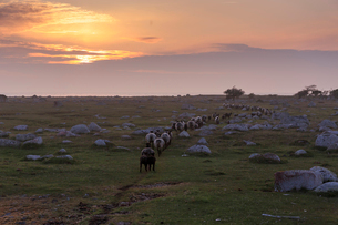 Sheep in field at sunset in Oland, Swedenの写真素材 [FYI02208869]