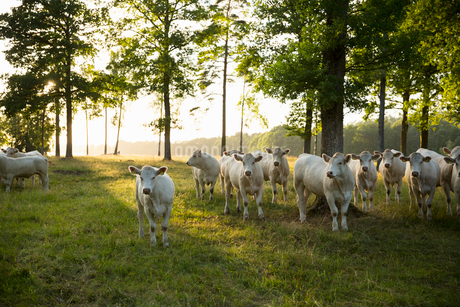 Sheep in field in Vessigebro, Swedenの写真素材 [FYI02209116]