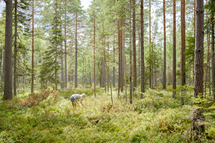 Sweden, Ostergotland, Mature woman picking blueberries in forestの写真素材 [FYI02209144]
