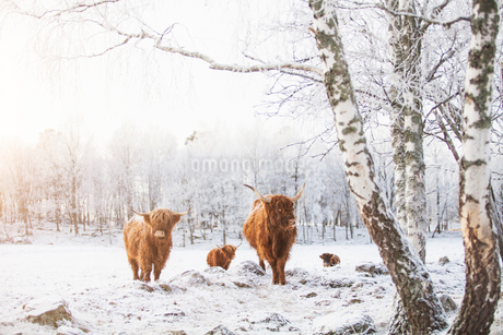 Highland cattle in the snowの写真素材 [FYI02209157]