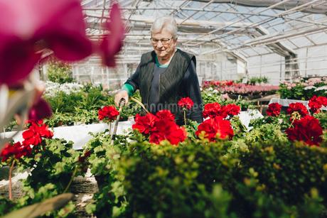 Garden centre worker watering gardenの写真素材 [FYI02209261]