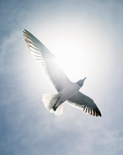 A bird in the airの写真素材 [FYI02209312]