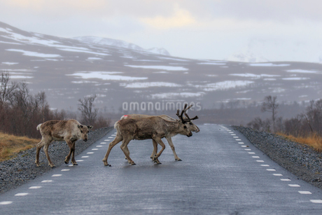 Reindeer crossing highway in Jamtland, Swedenの写真素材 [FYI02209412]
