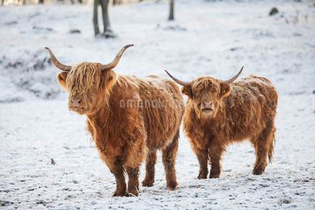 Highland cattle in the snowの写真素材 [FYI02209433]