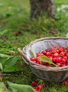 Basket of cherriesの写真素材 [FYI02209597]