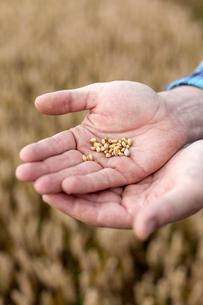 Finland, Uusimaa, Siuntio, Man´s hands holding wheat grainの写真素材 [FYI02209645]