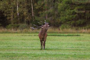 Red deer in Narke, Swedenの写真素材 [FYI02210110]
