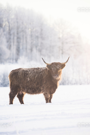 Bull in snow in Jarfalla, Swedenの写真素材 [FYI02210120]