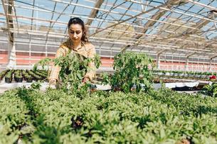 Garden centre worker checking plantsの写真素材 [FYI02210171]