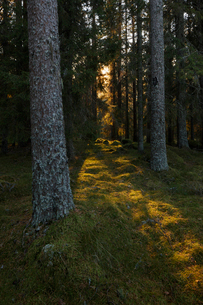 Sun shining through trees in Dalarna, Swedenの写真素材 [FYI02210698]