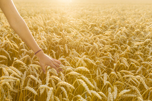 Hand of teenage girl touching wheat in fieldの写真素材 [FYI02210809]