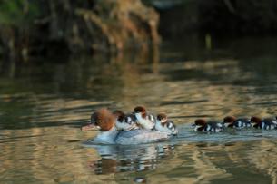 Family of common merganser swimming in lake in Swedenの写真素材 [FYI02210964]