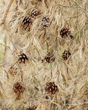 Pine cones on tree in Swedenの写真素材 [FYI02211053]