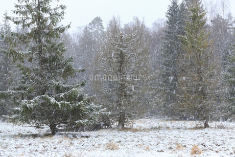 Forest during winter in Narke, Swedenの写真素材 [FYI02211064]
