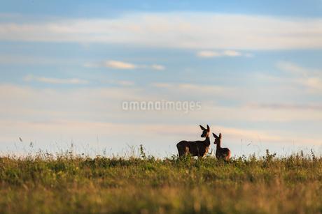 Deer in a field in Narke, Swedenの写真素材 [FYI02211093]