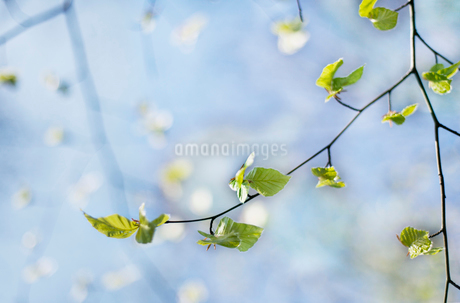 Leaves on a birch tree in Swedenの写真素材 [FYI02211377]