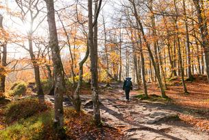 Sweden, Skane, Soderasen, Person walking in forest during autumnの写真素材 [FYI02211469]
