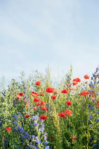 Poppies in a field of wildflowers in Swedenの写真素材 [FYI02211512]