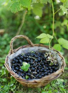 Basket of blackcurrantsの写真素材 [FYI02211538]