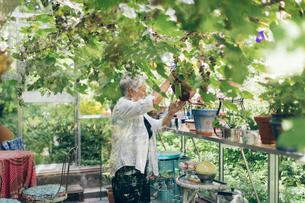 Senior woman watering plants in a greenhouse in Kvarnstugan, Swedenの写真素材 [FYI02211613]