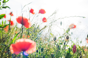 Poppies in a field of wildflowers in Swedenの写真素材 [FYI02211731]