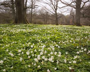 Sweden, Skane, Torna-Hallestad, Wildflowers in meadowの写真素材 [FYI02211742]