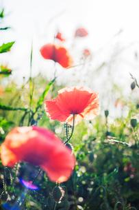 Poppies in a field of wildflowers in Swedenの写真素材 [FYI02211844]