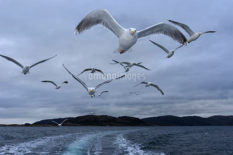 Seagulls flying over the sea in Norwayの写真素材 [FYI02211865]