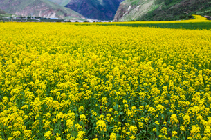 A field of rapeseed in full bloomの写真素材 [FYI02214103]
