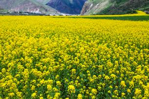 A field of rapeseed in full bloomの写真素材 [FYI02214103]