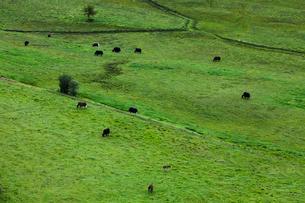 Herd of cattle grazing on pastureの写真素材 [FYI02214541]