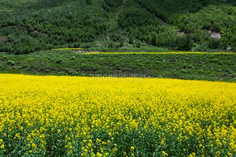 A field of rapeseed in full bloomの写真素材 [FYI02215502]