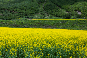 A field of rapeseed in full bloomの写真素材 [FYI02215502]