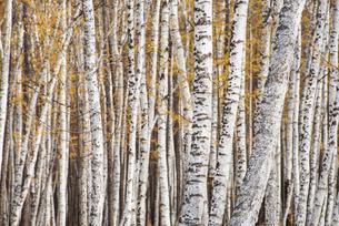 Birch tree trunksの写真素材 [FYI02217869]