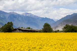 Rape flowers and mountainsの写真素材 [FYI02222179]