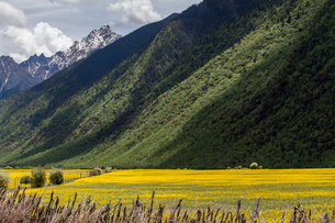 Rape flowers and mountainsの写真素材 [FYI02222541]