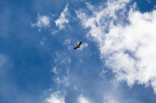 Eagle flying against blue skyの写真素材 [FYI02222669]