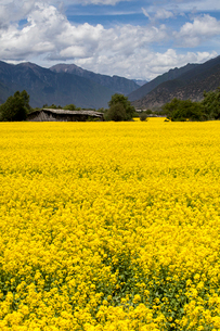 Rape flowers and mountainsの写真素材 [FYI02223181]