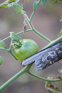 Green tomatoの写真素材 [FYI02223444]