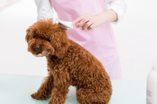 Groomer with a cute poodleの写真素材 [FYI02224992]