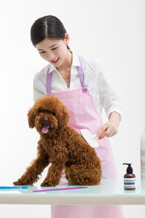 Groomer with a cute poodleの写真素材 [FYI02225310]