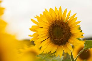 Sun flowersの写真素材 [FYI02225577]
