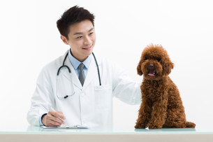 Veterinarian examining a cute poodleの写真素材 [FYI02226109]