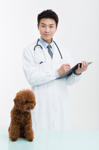 Veterinarian examining a cute poodleの写真素材 [FYI02227772]