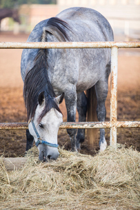 Horse eating hay at stableの写真素材 [FYI02229073]