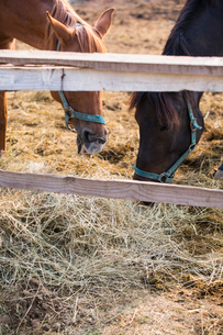 Horses eating hay at stableの写真素材 [FYI02229303]