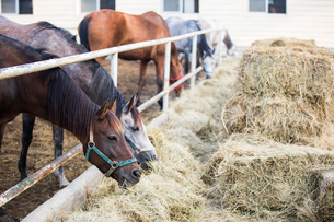 Horses eating hay at stableの写真素材 [FYI02232117]