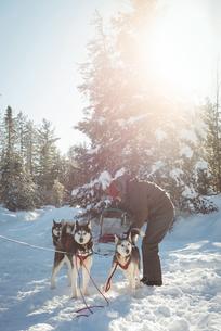 Musher tying husky dogs to the sledgeの写真素材 [FYI02234775]