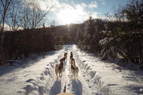 Husky dogs pulling sledgeの写真素材 [FYI02235030]